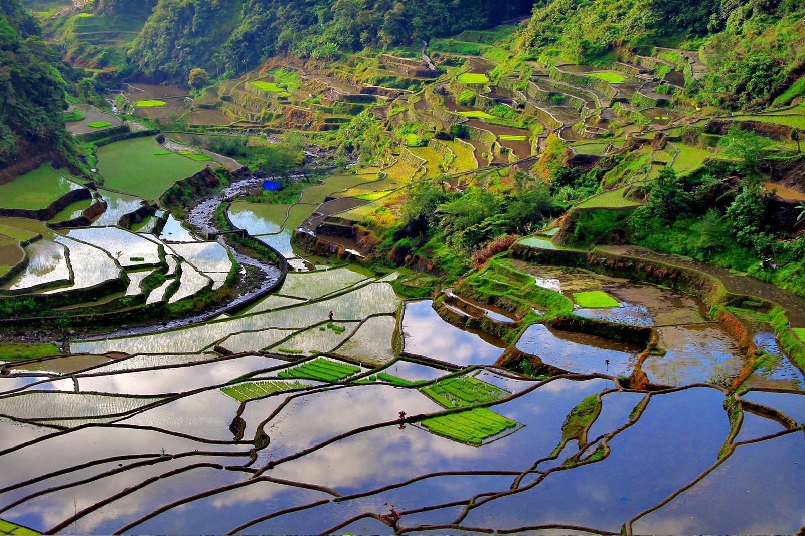 Fülöp szgk. Banaue rizs