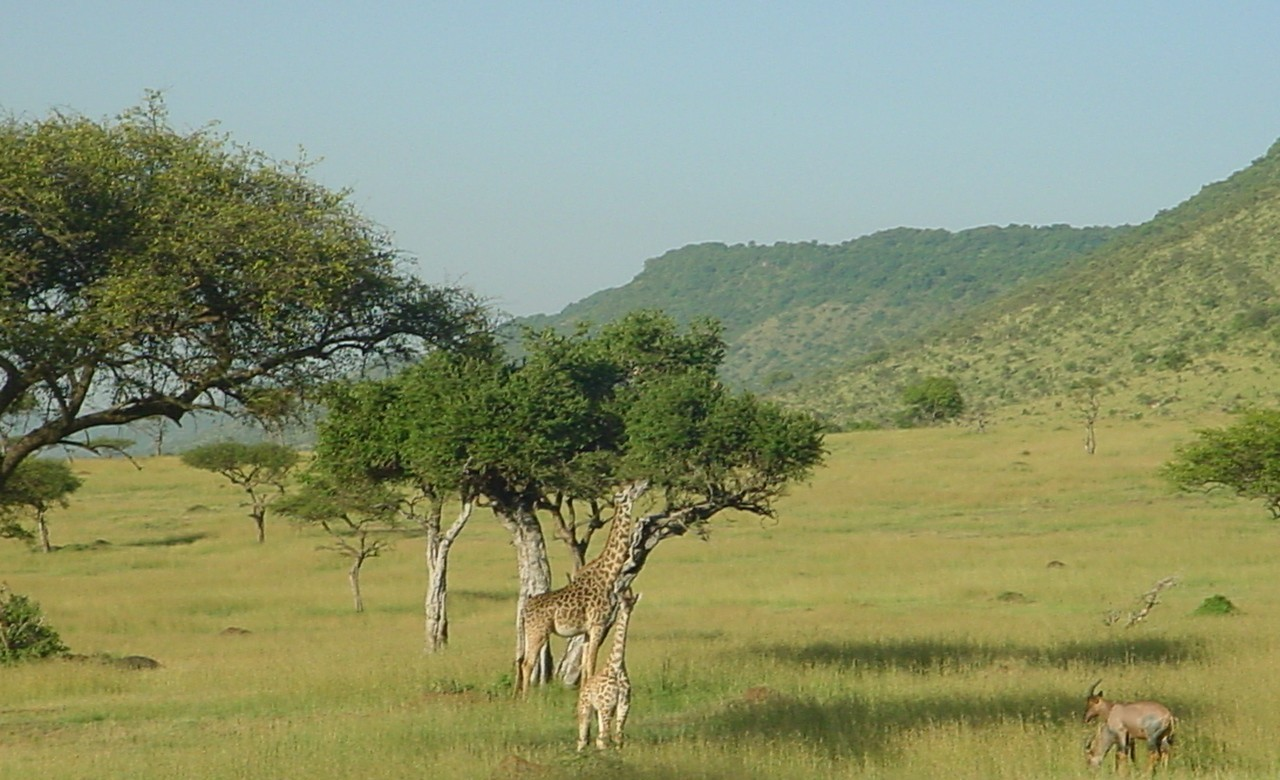 szafari: afrikai szafari serengeti - zsiráfok