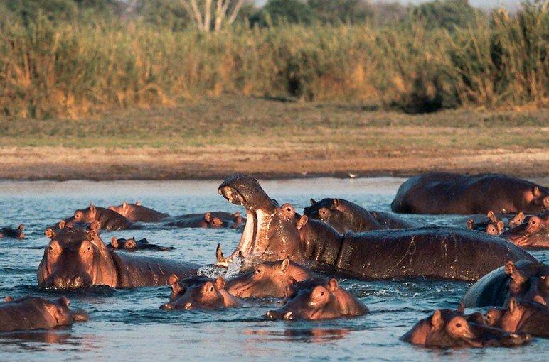 Afrikai szafari - Chobe nemzeti park szafari