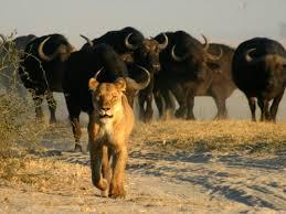 Afrikai szafari - Chobe nemzeti park