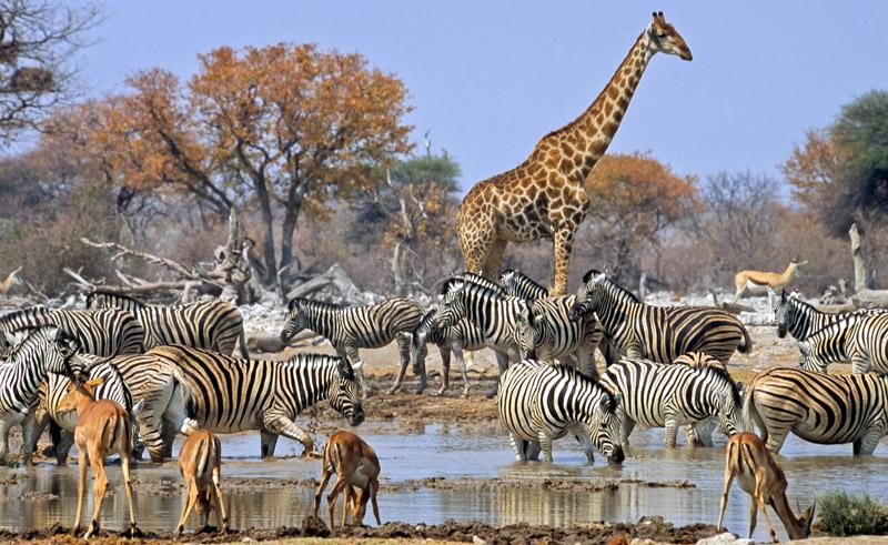 Afrikai szafari - zebrák és zsiráf az Etosha nemzeti parkban, Namíbia