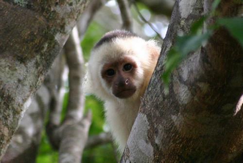 Csuklyásmajom - Costa Rica körutazás